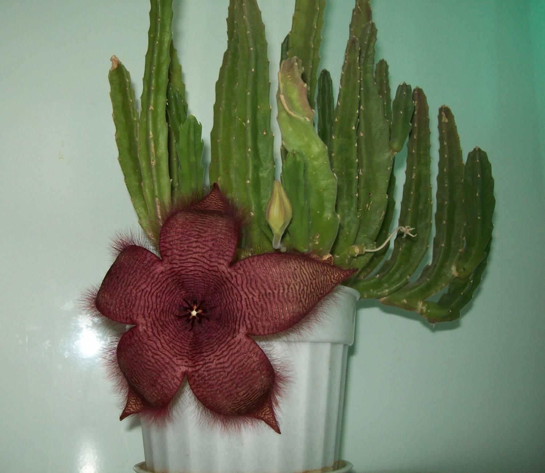 Stapelia variegata